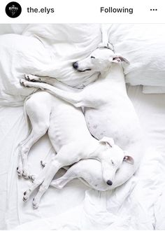 White whippets Animals And Pets, Baby Animals, Cute Animals, Baby Giraffes, Wild Animals, Big Black Dog Breeds, Whippet Puppies, Whippets, Dog Rules