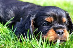 Cavalier King Charles   Black and Tan puppyBy #Julienbagnard #dog