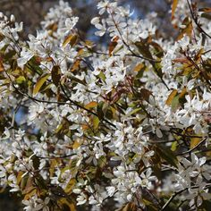 Amelanchier lamarkii - good multi-stem, white flowers spring wth bronze leaves, turning green, then  orange and red in autumn.  Edibleish berries.