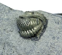 Here is a remarkable example of preservation: a totally pyritized Eldredgeops rana trilobite.