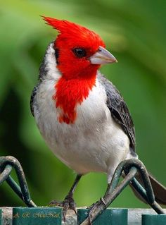 Red-crested Cardinal | Totaly Outdoors