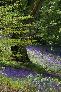 Bowden Woods, West Berkshire, England Bluebell Glitter by parallel-pam