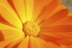 Learn how to make calendula oil - for salves, lip balm, and lotions - on the small farm. Calendula is used in many beauty products and is great for the skin. Plus, it's easy to grow.