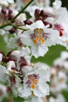Catalpa bignonioides (Indian bean Tree) planted May 2017 at park. Won't flower till 7yrs-awww