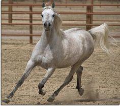 Flying Arabian