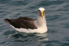 Buller's Albatross 2