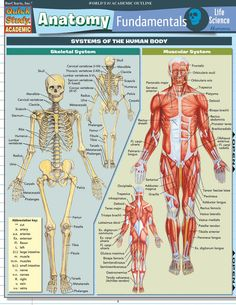 Anatomy Fundamentals: Life Science Laminated Study Guide - BarCharts Publishing Inc makers of QuickStudy Human Body Anatomy, Human Anatomy And Physiology, Anatomy Of The Body, Muscle Chart Anatomy, Human Anatomy Chart, Medical Anatomy, Anatomy Study, Body Systems, Life Science