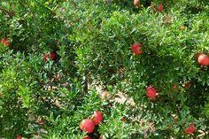 ¿De donde proviene la granada fruta? La granada fruta viene siendo consumida por el hombre desde hace miles de años, ya Hipócrates recomendaba su consumo en forma de zumo para luchar contra la fieb…