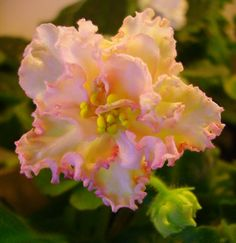 African Violet Sunkissed Rose