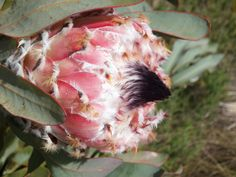 Protea magnifica found on the slopes of Sir Lowreys Pass on the Grabouw side. Plant Species, Beautiful Flowers, Cape, Flora, Plants, Animals, Mantle, Cabo, Animales