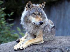 Grey wolf#5