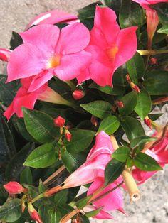 Dipladenia de arco, color rosa. Viveros Gonzalez. Garden Centre. Marbella