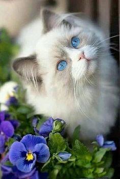 #cute #adorable #cat #gato #blue #white