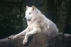 Wolves Of The World - Tundra Wolf - Canis lupus albus Beautiful Wolves, Most Beautiful Animals, Beautiful Creatures, Canis Lupus Pambasileus, Howl At The Moon, Wolf Pictures, Wild Wolf, Big Bad Wolf, Wolf Spirit