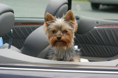 In the back of a convertible Yorkie, Yorkshire Terrier, Dog