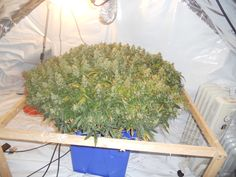 Heavy yielding cannabis plant. Who wants to grow plants like this? www.delta9cloud.com for free information on this stuff