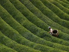 A Japanese tea farmer picks leaves in a verdant field in central Japan's mountainous Nara Prefecture.Tea has a long history in Japan but was first brought to the islands from China.
