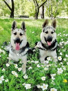 Изображение Husky, Dogs, Animals, Animales, Animaux, Pet Dogs, Doggies, Animal, Animais