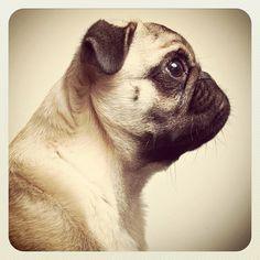 Beautiful pug profile