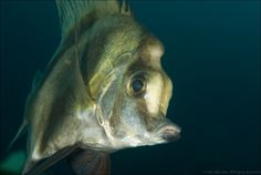 Photograph Striped boarfish, Poor Knights, New Zealand by Colin Gans on 500px