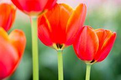 Tulpen Nebeneinander #spring