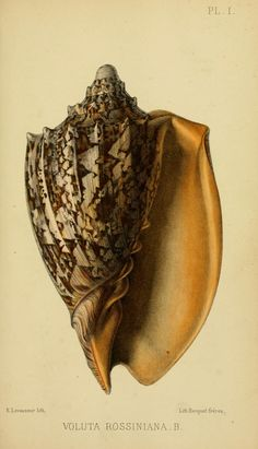 Shell: Voluta Rossiniana (t from the Journal de Conchyliologie, 1860 Biodiversity Heritage Library Botanical Illustration, Botanical Prints, Science Illustration, Merian, Seashell Art, Nature Prints, Sea And Ocean, Natural History, Vintage Prints