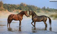 Marwari stallions Sikandar and Naagraj