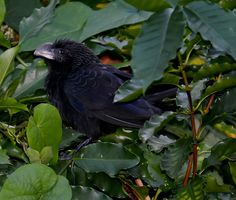 Smooth-billed ani (Crotophaga ani), Windsor Research Centre, Jamaica, by Ted Lee Eubanks