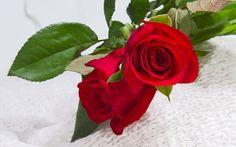 Bellas rosas rojas