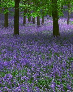 British bluebells like at Bluebell wood. Beautiful Landscapes, Beautiful Gardens, Beautiful Flowers, Beautiful Places, Beautiful Pictures, Spring Flowers, Wild Flowers, Terre Nature, British Flowers
