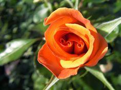 Sacar el mayor partido a los rosales: plan de abonado | Cuidar de tus plantas es facilisimo.com