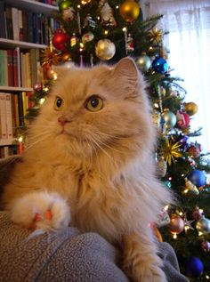 The venerable Christmas tree poses its own set of dangers to cats. The reverse is also true. This article discusses how to help ensure that your cat and your Christmas tree are not a threat to each other. Let's focus first on keeping kitty at a safe distance from the tree, mainly for his own protection but also so you can enjoy your holiday without being woken by a big crash in the night. http://www.cathealth.com/how-and-why/how-to-keep-your-cat-off-the-christmas-tree
