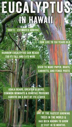 Whether you're hiking in the Makawao Forest Reserve or visiting the enchanted Painted Forest in Hana, the sharp smell and vibrant sight of these trees is a sensory souvenir that can linger for a lifetime. #eucalyptus #rainboweucalyptus #trees #maui #hawaii #hana #roadtohana #paradise #nature Kauai, Maui Hawaii, Maui Photographers, Fast Growing Trees, Mindanao, Big Island, Natural Wonders, Great Places, Souvenir