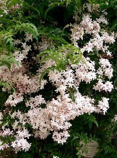 Le Jasminum polyanthum ou jasmin blanc d'hiver : culture et entretien