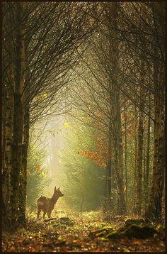 #forest #autumn #deer