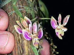 Billedresultat for phalaenopsis Mini Orquideas, Miniature Orchids, Epiphyte, Terrarium Plants, Wild Orchid, Trees To Plant, Natural, Flora, Miniatures