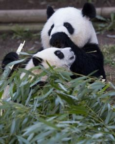 Zoo Atlanta Panda Cam - Lun Lun and her cubby