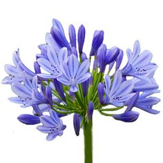 Blue Agapanthus: all year  $$