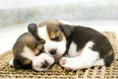 Snoozing Bernese Mountain Dog pups