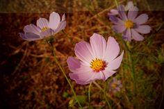 [Today's Photo] 아름다운 그대에게 F800 EXR  활기찬 월요일 보내고 계신가요?  좋은 아침 되시라고 활짝 핀   코스모스 사진을 가져왔습니다^^  꽃 처럼 아름다운 하루 되세요~    <사진정보>     조리개값 : F/9  노출시간 : 1/300초  ISO감도 : ISO-200  초첨거리 : 11mm