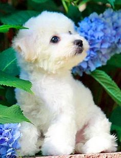 Currently viewing archives from Puppy Pictures Maltese Tattoo, Cute Puppies, Dogs And Puppies, Maltese Puppies, Bichon Dog, Baby Animals, Cute Animals, Dog Wallpaper, Puppy Pictures