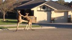 Kenguruk kick-boxba kezdenek egy csendes ausztrál utcán