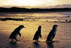 Watching the fairy penquins come out of the surf at dusk on Philip Island, Australia.