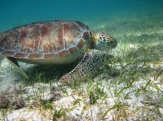 Akumal, Mexico - the nesting site of giant sea turtles. Amazing snorkelling - my happy place Honeymoon Vacations, Hawaii Honeymoon, Vacation Packages, Vacation Spots, Vacation Ideas, Akumal Beach, Akumal Mexico, I Love Mexico, Quintana Roo