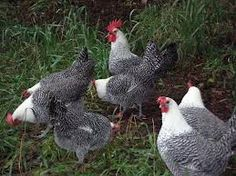 Siver campine chickens