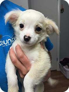 Papillon/Chihuahua Mix Puppy for adoption in Fort Collins, Colorado - Grace (FORT COLLINS)