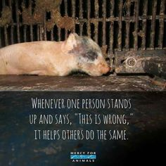This is wrong. Go vegan don't support factory farming. Vegan Facts, Vegan Memes, Vegan Quotes, Mercy For Animals, Save Animals, Factory Farming, Why Vegan, Stop Animal Cruelty, Vegan Animals