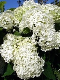 Hydrangea Arborescens Annabelle, Herbs, Vegetables, Plants, Milan, Gardens, Outdoor Gardens, Herb, Vegetable Recipes