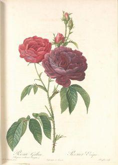 Rosa Gallica (Purpuroviolacea Magna); Rosier Evêque