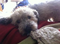 """My Schnoodle dog """"Rudy!"""" Just love him!"""